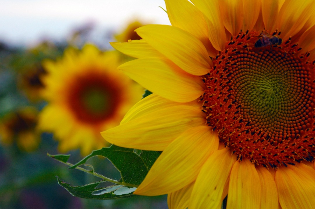 sunflower-1772005_1920
